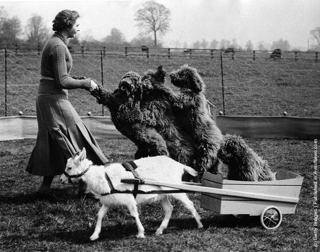 1937 Poodles play with Trainer - Photo by Box Photos-Getty Images - avaxnews.net