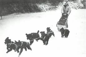 1970's Poodle Sled Dog Team