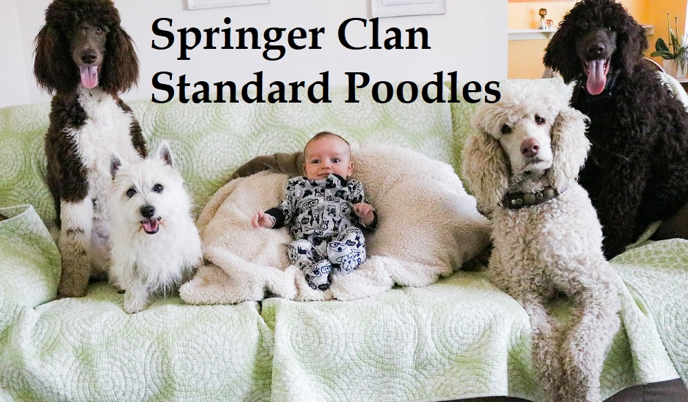 Available Pups In San Diego | Springer Clans Standard Poodles