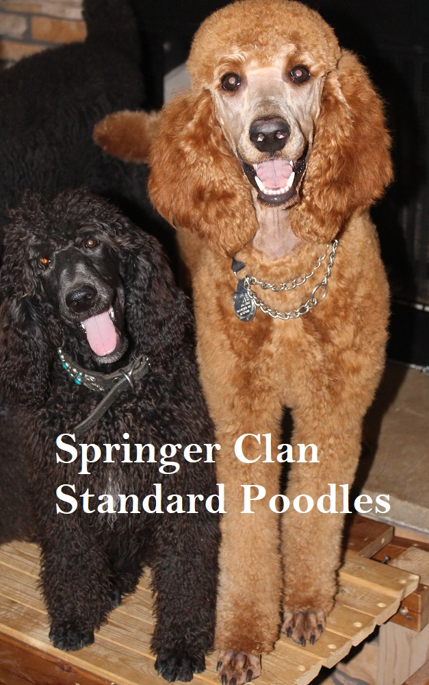 Poodles In Need | Springer Clans Standard Poodles