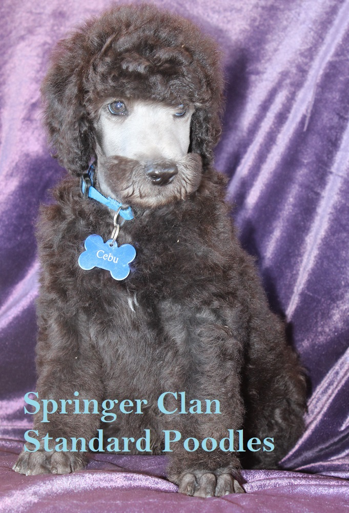 Gallery of Past Litters | Springer Clans Standard Poodles